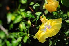 Flor amarilla del hibisco Imágenes de archivo libres de regalías