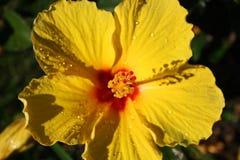 Flor amarilla 6 del hibisco Imagen de archivo libre de regalías