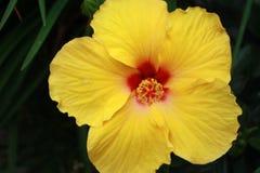 Flor amarilla del hibisco Fotos de archivo