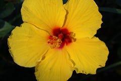 Flor amarilla del hibisco Foto de archivo libre de regalías