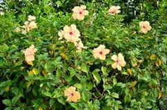 Flor amarilla del hibisco de la falta de definición Fotografía de archivo