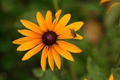 Flor amarilla del hirta del Rudbeckia con la avispa imagen de archivo libre de regalías