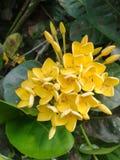 Flor amarilla del ixora Imagen de archivo libre de regalías