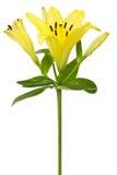 Flor amarilla del lirio Fotografía de archivo