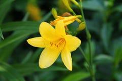 Flor amarilla del lirio Imagenes de archivo