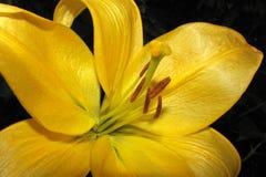 Flor amarilla del lirio Imagen de archivo libre de regalías