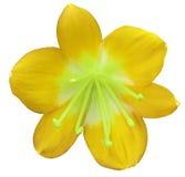 Flor amarilla del lirio, aislada con la trayectoria de recortes, en un fondo blanco pistilos verdes, estambres Centro verde claro Imágenes de archivo libres de regalías