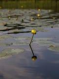 Flor amarilla del lirio de agua Imágenes de archivo libres de regalías