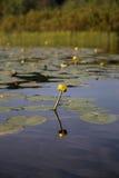 Flor amarilla del lirio de agua Imagenes de archivo