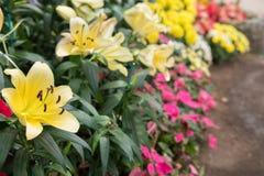 Flor amarilla del lirio en jardín Flora floreciente Macizo de flores en parque fotografía de archivo libre de regalías
