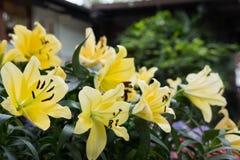 Flor amarilla del lirio en jardín Flora floreciente Macizo de flores en parque fotos de archivo