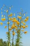 Flor amarilla del lirio tigrado Imagen de archivo libre de regalías