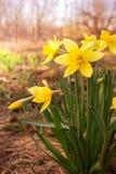 Flor amarilla del narciso Fotografía de archivo