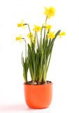 Flor amarilla del narciso Imagenes de archivo