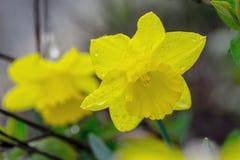 Flor amarilla del narciso imagen de archivo