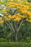 Flor amarilla del pavo real Imagen de archivo