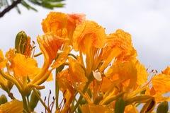Flor amarilla del pavo real Foto de archivo