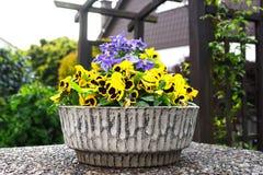 Flor amarilla del pensamiento en una maceta en el jardín Imagenes de archivo