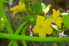Flor amarilla del pepino Imagen de archivo