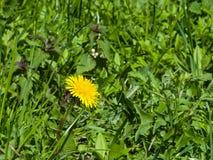 Flor amarilla del primer del diente de león común o del officinale del Taraxacum en la hierba, bordes suaves, foco selectivo, DOF Fotos de archivo