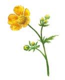 Flor amarilla del ranúnculo Foto de archivo libre de regalías
