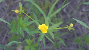 Flor amarilla del ranúnculo en brisa ligera almacen de metraje de vídeo
