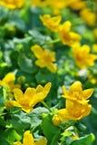 Flor amarilla del resorte Fotografía de archivo libre de regalías
