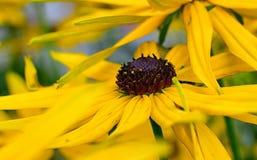 Flor amarilla del rudbkecia Imagen de archivo