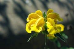 Flor amarilla del sabio de Jerusalén Fotos de archivo
