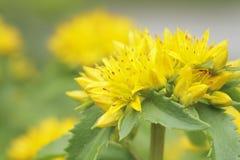 Flor amarilla del sedum de Kamtschat Imagen de archivo libre de regalías
