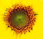 Flor amarilla del sol Imagenes de archivo