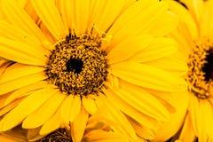 Flor amarilla del sol Foto de archivo