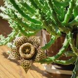 Flor amarilla del Stapelia Foto de archivo libre de regalías