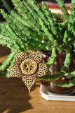 Flor amarilla del Stapelia Imagen de archivo libre de regalías