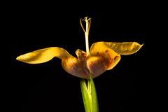 Flor amarilla del tigridia Imagen de archivo libre de regalías