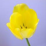 Flor amarilla del tulipán Imágenes de archivo libres de regalías