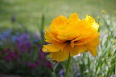 Flor amarilla del tulipán en el jardín Fotos de archivo libres de regalías