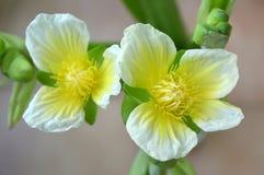 Flor amarilla del velvetleaf, SP de Limnocharis Imagen de archivo libre de regalías