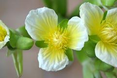 Flor amarilla del velvetleaf, SP de Limnocharis Foto de archivo libre de regalías