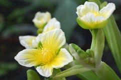 Flor amarilla del velvetleaf, SP de Limnocharis Fotografía de archivo