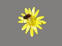 Flor amarilla del verna de Ficaria con la abeja en un fondo gris Foto de archivo
