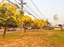 Flor amarilla en el árbol de trompeta de la plata del jardín Imagen de archivo
