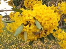 Flor amarilla en el árbol de trompeta de la plata del jardín Fotos de archivo