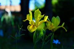 """Flor amarilla en el 🌠del jardín"""" imagen de archivo libre de regalías"""