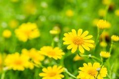 Flor amarilla en el chiangmai real Tailandia de la flora Fotografía de archivo libre de regalías
