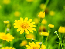 Flor amarilla en el chiangmai real Tailandia de la flora Imagen de archivo