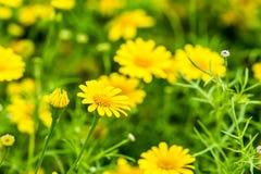 Flor amarilla en el chiangmai real Tailandia de la flora Imagen de archivo libre de regalías