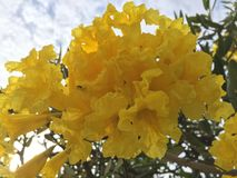 Flor amarilla en el cielo azul foto de archivo libre de regalías