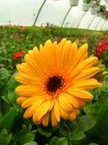 Flor amarilla en el invernadero - vertical Imagenes de archivo