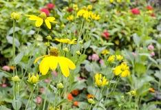 Flor amarilla en el jardín Imagenes de archivo